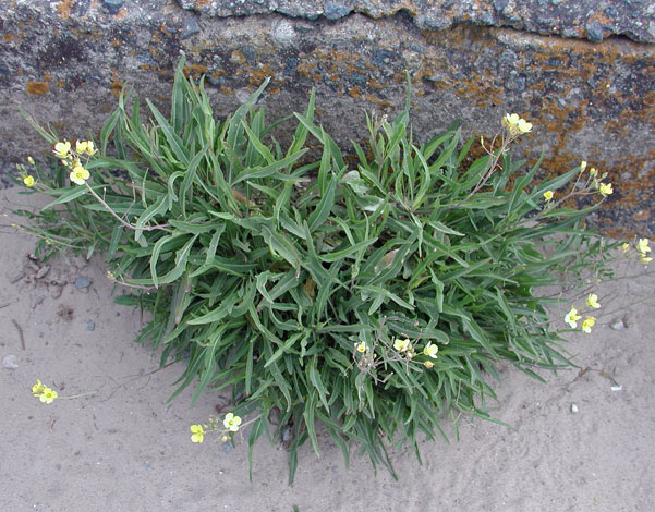 Diplotaxisis tenuifolia whole