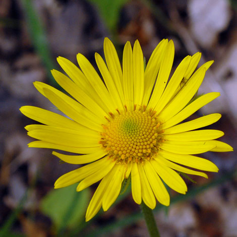 Doronicum columnae close