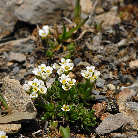 Draba fladnizensis whole