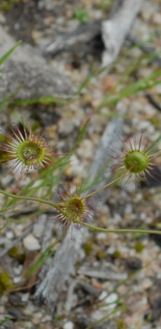Drosera menzesii leaves