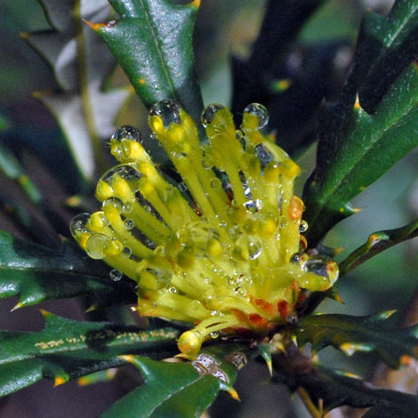 Banksia squarrosa close