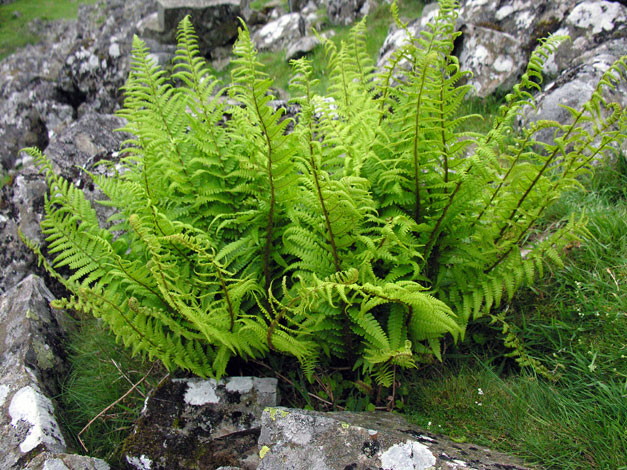 Dryopteris affinis whole