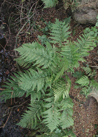 Dryopteris dilatata mature whole plant