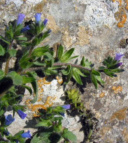 Echium parviflorum whole