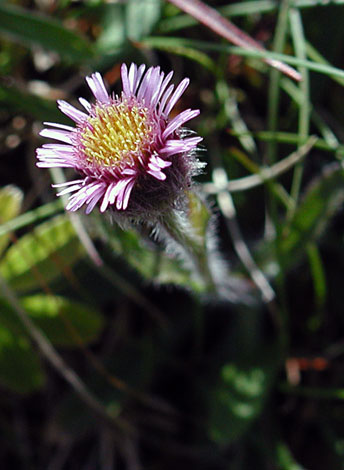 Erigeron borealis close
