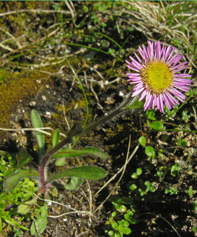 Erigeron borealis whole