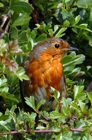 Erithacus rubecula on line