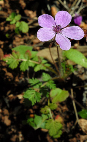 Erodium cicutarium close Spain
