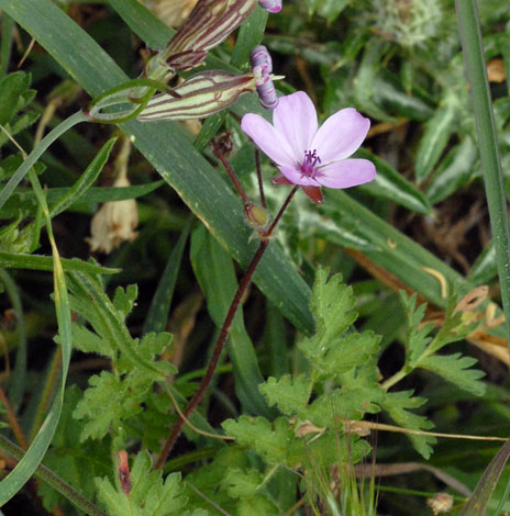 Erodium cicutarium whole Spain