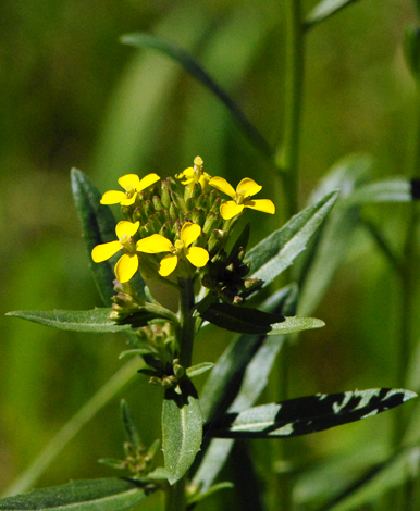 Erysimum pyrenaicum close