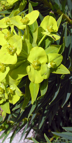 Euphorbia dendroides close