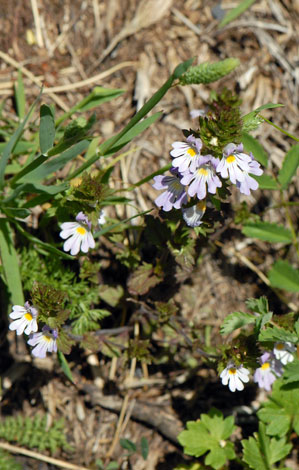 Euphrasia alpina whole