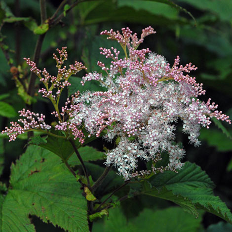 Filipendula camtschatica close