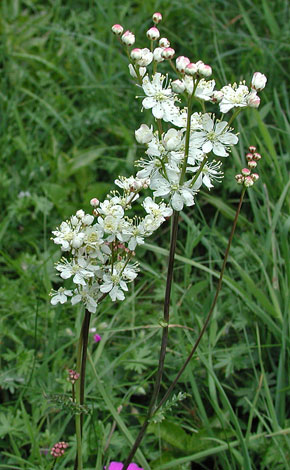 Filipendula vulgaris whole
