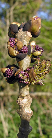 Fraxinus excelsior close buds third stage