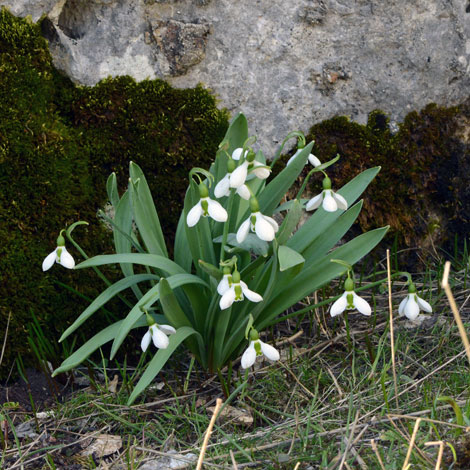 Galanthus elwesii whole