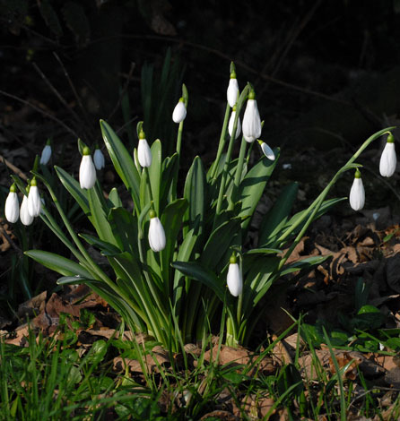 Galanthus plicatus group
