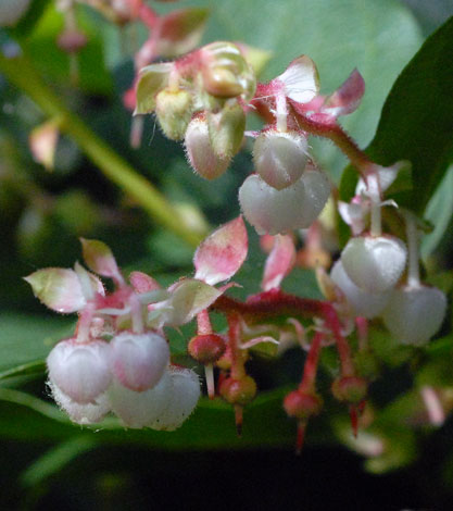 Gaultheria shallon close