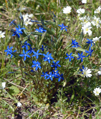 Gentiana nivalis whole