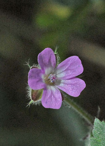 Geranium rotundifolium close Spain