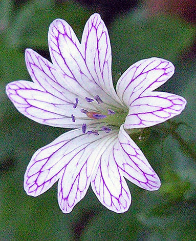 Geranium versicolor close