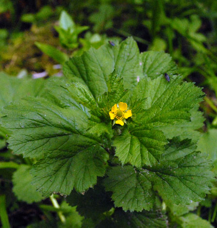 Geum macrophyllum whole