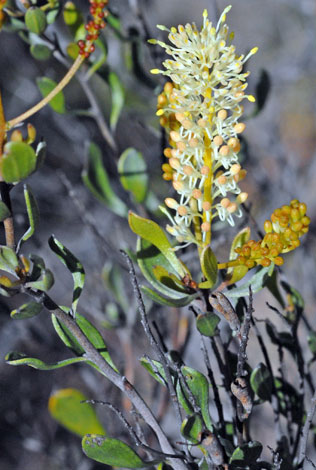 Grevillea integifolia whole
