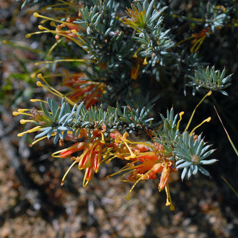 Grevillea yorkrakinensis close