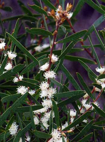 Hakea ambigua close