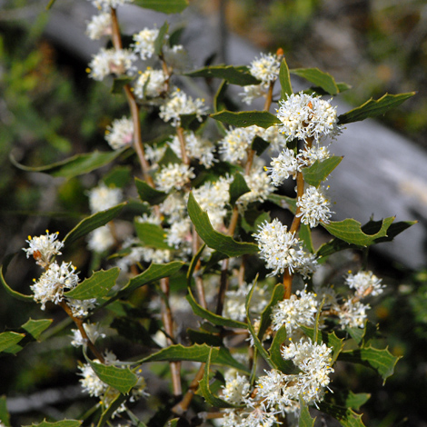 Hakea anadenia whole