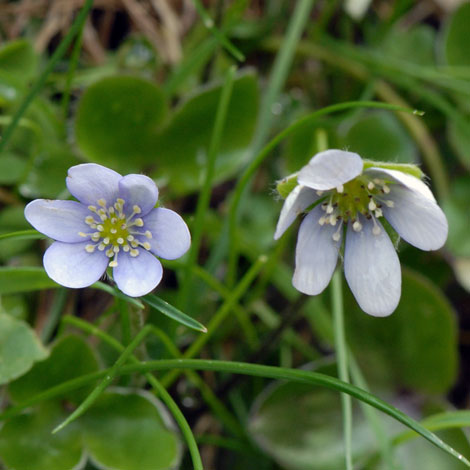 Hepatica nobilis close