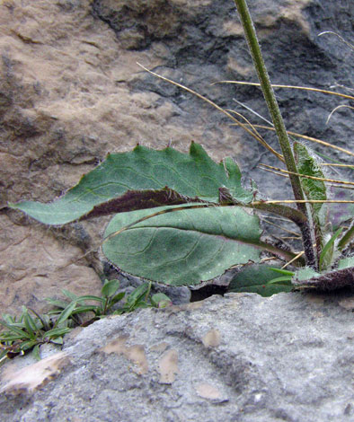 H.pseudoleyi leaves