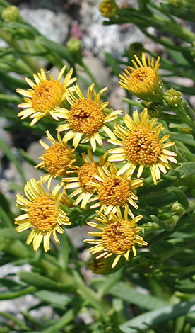 Inula crithmoides whole