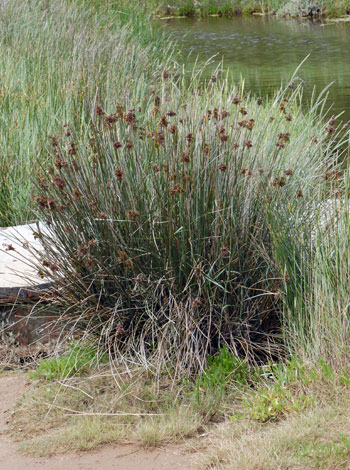 Juncus acutus whole