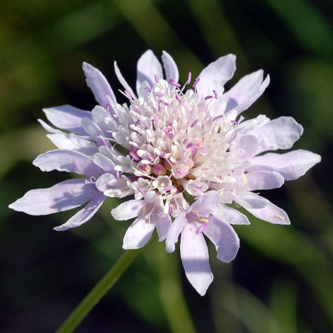 Knautia integrifolia close