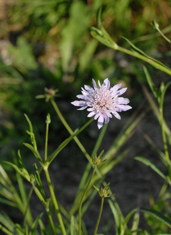 Knautia integrifolia whole