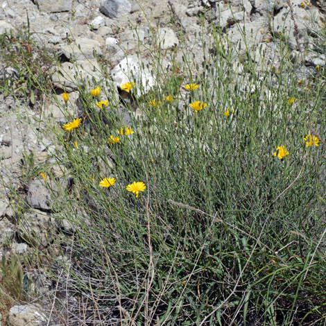 Launaea resedifolia whole