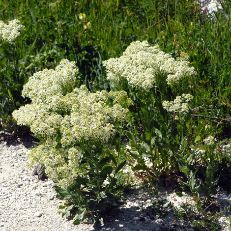Lepidium draba whole