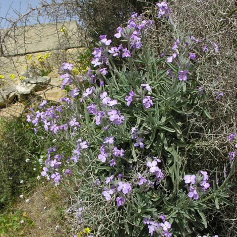 Matthiola incana ssp melitensis whole