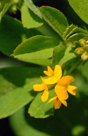 Medicago lupulina close