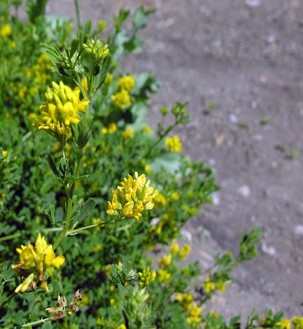 Medicago sativa ssp falcata whole