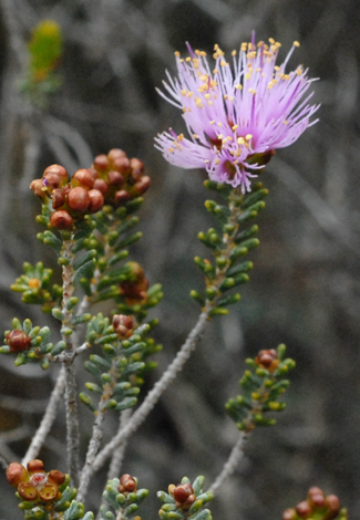 Melaleuca seriata close