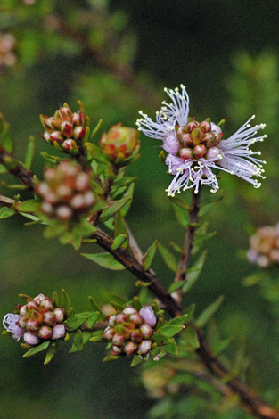 Melaleuca squamea close