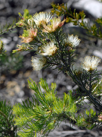 Melaleuca urceolaris close