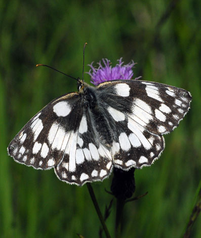 Melanargia galathea from Greena Moor