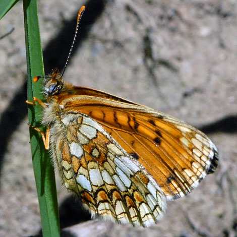Melitaea athalia under