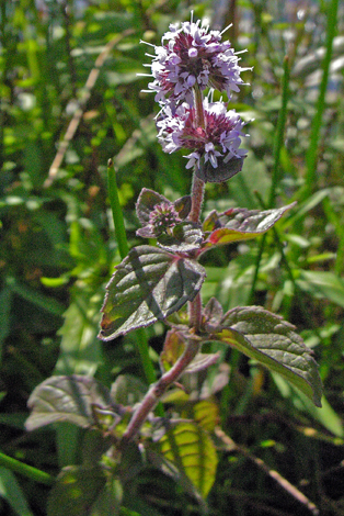 Mentha aquatica whole