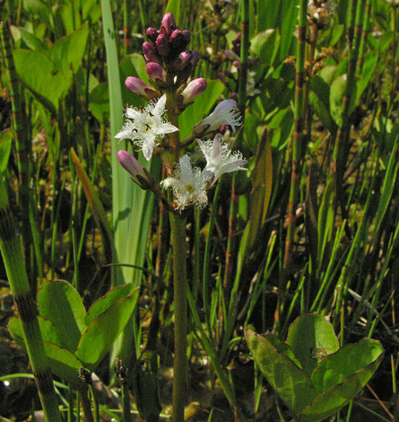 Menyanthes trifoliata whole