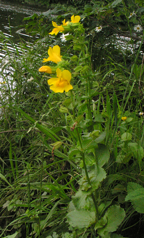 Mimulus guttatus whole