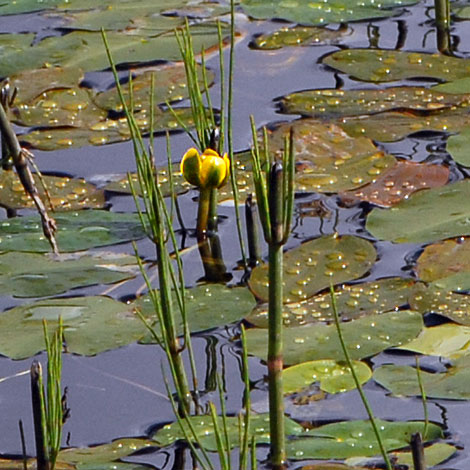 Nuphar pumila close